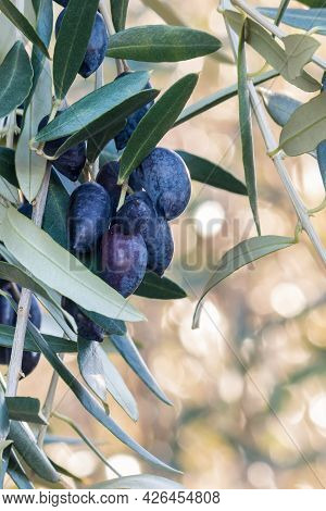 Cluster Of Dark Ripe Kalamata Olives Hanging On Olive Tree Branch With Blurred Background
