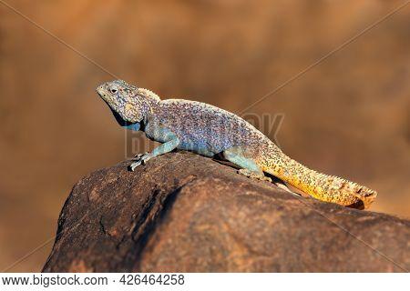 Male southern rock agama (Agama atra) in bright breeding colors, Namibia