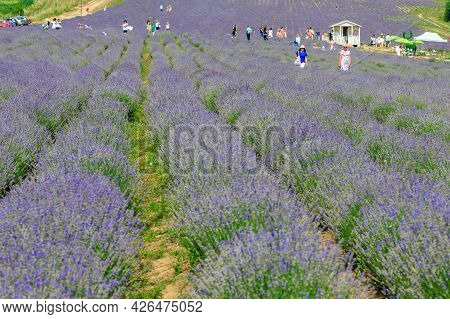 Perechyn, Western Ukraine - July 11, 2021: Visitors Walk Among The Fragrant Bushes Of Blooming Laven