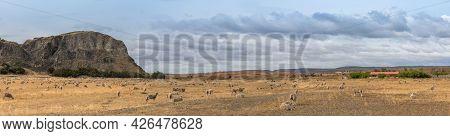 Flock Of Sheep On Pasture North Of Punta Arenas, Patagonia, Chile