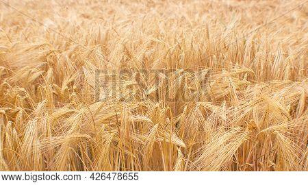 Wheat Field Crops. Golden Wheat Ears Or Barley Harvest Background. Wheat Grain Field Farm - Ripe Gra