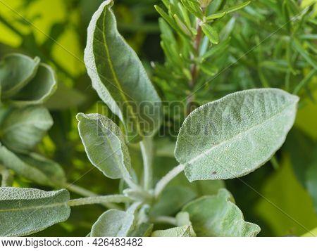 Common Sage (scientific Name Salvia Officinalis) Plant