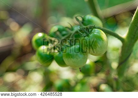 Unripe Green Ovaries Of Tomatoes On A Branch Of A Plant. Unripe Green Ovaries Of Tomatoes On A Branc