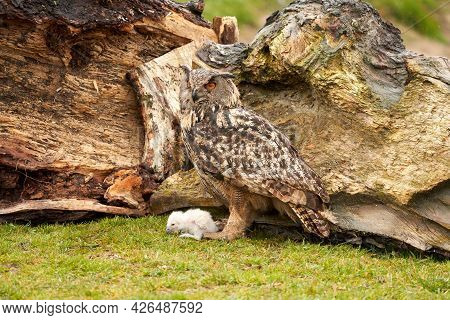 Wild Eagle Owl Mother And A White Chick. The One Week Old White Owl Stands At The Legs Of The Large