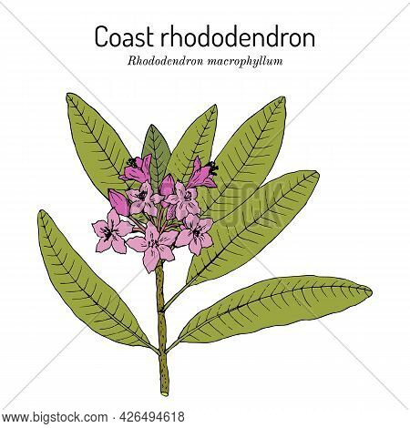 Coast Rhododendron Rhododendron Macrophyllum , State Flower Of Washington. Hand Drawn Botanical Vect