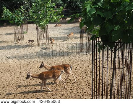 Two Roe Deer, In Love Walking In Natural Environment In Summer. Couple Of Buck And Doe In Mating Sea