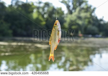Freshly Caught Rudd On A Hook On A Blurred Background, Side View
