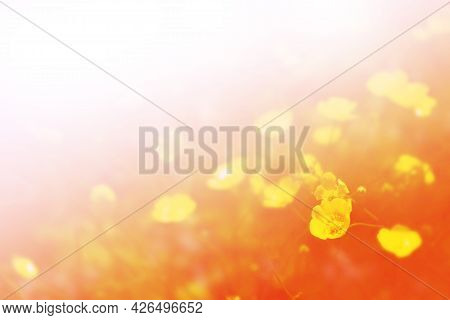 Blurred. Ranunculus Acris. Bright Yellow Flowers Buttercups On A Background Summer Landscape.