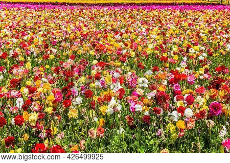 Israel. Windy cloudy day. The multicolored garden ranunculus in a kibbutz field with a magnificent carpet. Walk in the world of flowers.