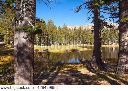 Picturesque quiet lake in a coniferous forest. Sunrise. The forest are reflected in the smooth water of the lake. The Tioga Road and Pass in Yosemite Park. USA. North America