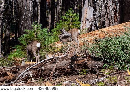 Couple of young deer. Sequoia is a tree of the Cypress family. Sequoia Park in California, USA. The natural range of the genus is the Pacific coast of North America.