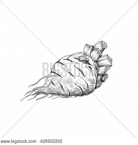 Root Of Sugar Beet, Agriculture Vegetable For Industry Production Sugar.