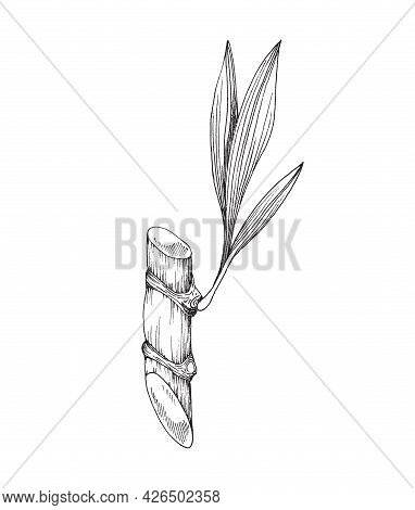 Cut Sugarcane Stem With Leaf, Engraving Vector Illustration Isolated On White.