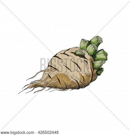 Root Of Vegetable Sugar Beet For Industry Production Sugar A Vector Illustration