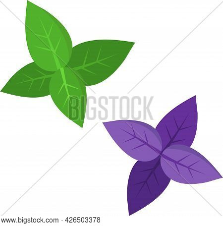 Basil Leaves Of Two Colors - Green And Purple