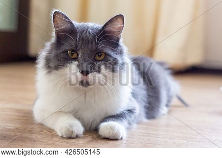 Grey And White Fluffy Cat Lying On The Floor And Looks At The Camera