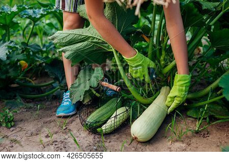 Woman Gardener Harvesting Zucchini In Summer Garden, Cutting Them With Pruner And Putting Fruit In B