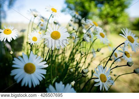 Chamomile Flowers Field In Sun Ligh. Chamomile Close-up .daisies Background.
