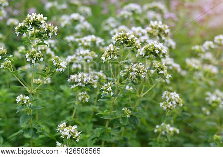 White Flowers Of Oregano As A Variety Of The Genus Oregano Are A Spicy-aromatic And Medicinal Plant.