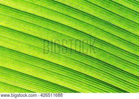 Green Banana Leaf Close Up. Macro Natural Background.