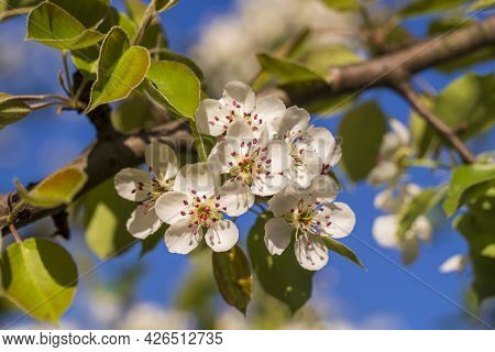 Sprig Of White Flowers Blooms On A Pear Tree Against A Blue Sky, Close Up