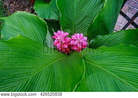 Pink Siam Tulip Flowers With Green Broad Leaf Background