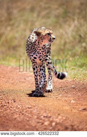 Adult cheetah, acinonyx jubatus, walking along a dirt track in the Masai Mara, Kenya. Front view with face turned to side.