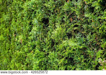 Thuja Evergreen Bush Arborvitae Texture, Trimmed Plant For Landscaping Parks And Gardens, Close-up B