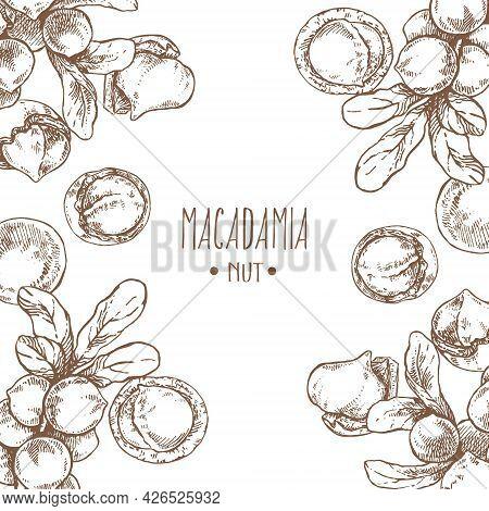 Hand Drawn Vector Macadamia Nut Core Leaf Branch