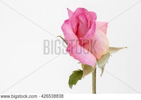 Closeup Image Of A Rosa (rose) 'compassion'