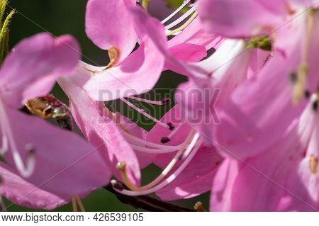 Beautiful Azalea Blooming Along The Blue Ridge Parkway