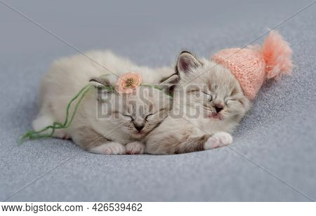 Two adorable little ragdoll kittens sleeping together on light blue fabric wearing knitted hat and flower decoration during newborn style photoshoot in studio. Cute napping kitty cats portrait