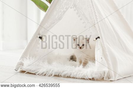 Cute small ragdoll kitten standing on fur and looking out from white curtain tent. Adorable breed kitty cat with beautiful blue eyes during studio photoshoot