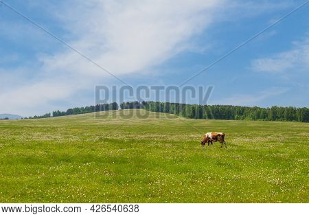 Summer Landscape With A Cow Grazing On A Green Pasture