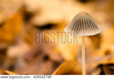 A Toadstool In Autumn Forest Close Up