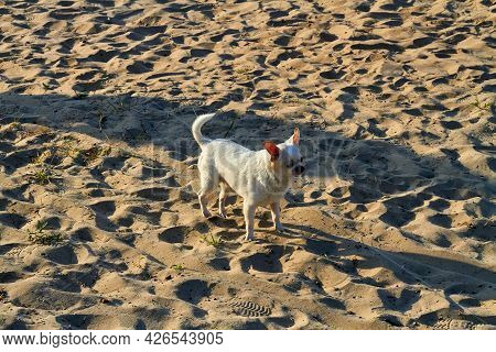White Single Hairy Chihuahua Standing On The Beach Sand.