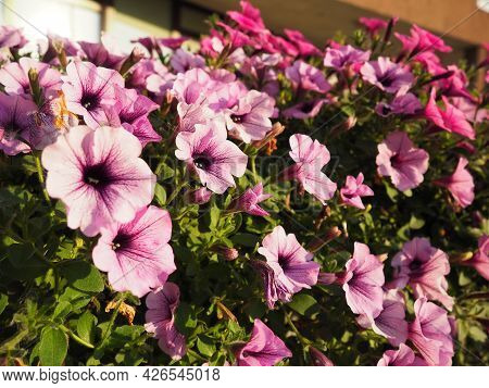 Pink and purple petunias on the flowerbed. Lush flowering of summer flowers. Petunia or Petunia is a