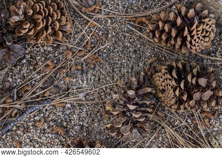 Background Of Conifer Pine Cones From A Ponerosa Pine Tree On Gravel And Dirt Surrounded By Twigs, P