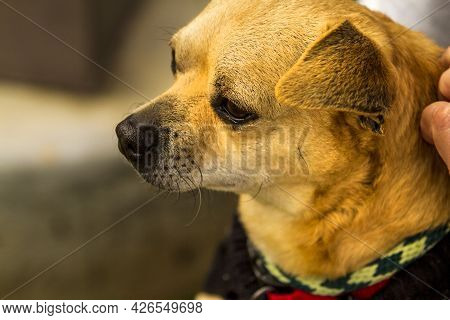 Older Mixed Chihuahua Terrier Dog In The Arms Of A Trainer And Caretaker At A Dog Resue Facility