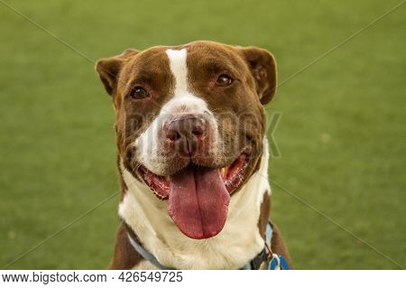 Playful Pitbull Dog Going Through Taining While In At Rescue Facility