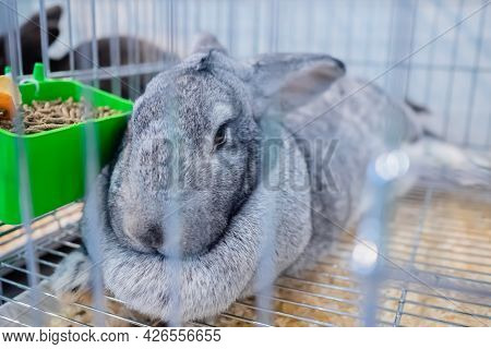 Cute Light Grey Rabbit Resting In The Cage At Agricultural Animal Exhibition, Pet Trade Show, Market
