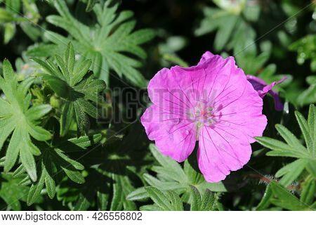 Pink Bloody Cranesbill, Geranium Sanguineum Variety John Elsley, Flower With A Few Raindrops On The