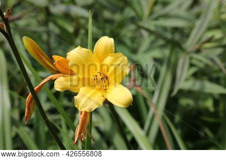 Yellow Daylily, Hemerocallis Middendorffii Unknown Variety, Flower With A Background Of Leaves And F
