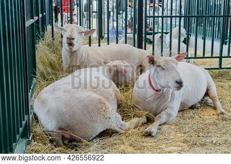 Flock Of White Sheep Lying And Eating Hay At Agricultural Animal Exhibition, Small Cattle Trade Show