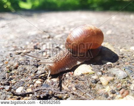 The Grape Snail Helix Pomatia Crawls On The Ground. Snail With A Shell