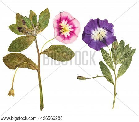 Pressed And Dried Delicate Transparent Bindweed Flowers Isolated On A White Background. For Use In S