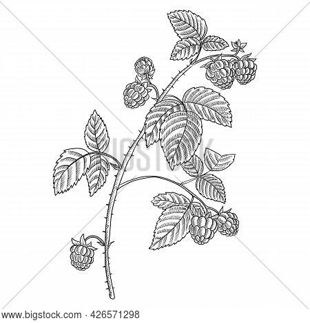 Vector Drawing Branch Of Raspberry With Leaves And Berries, Hand Drawn Vintage Illustration