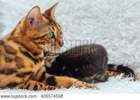 Bengal Cat With Her Little Kittens Laying On The White Fury Blanket