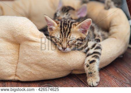 Closee-up Little Bengal Kitten On The Cat's Pillow