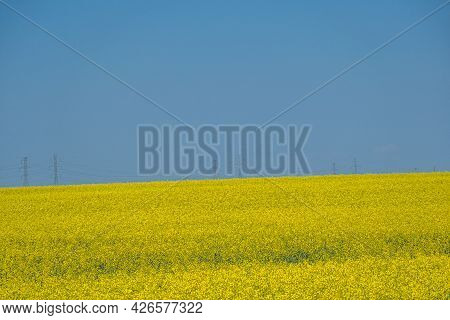 Organic Canola Farm In Alberta Canada With Transmission Tower In Background